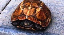 Trả nửa tỷ để mua rùa vàng ở suối cá thần xứ Thanh