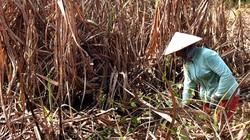 Đồng Nai: Nhiều ruộng mía bị cháy