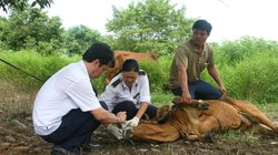 Quảng Nam: Dịch lở mồm long móng trên trâu, bò