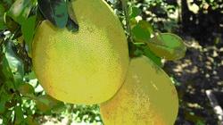 Đồng bằng sông cửu long: Trồng thêm 10.000ha cây ăn quả