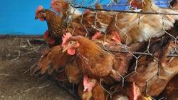 Nguy cơ lây lan dịch từ gà loại thải Trung Quốc