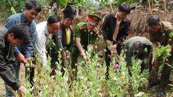 Điện Biên: Triệt phá nhiều diện tích cây thuốc phiện