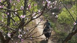 Nắng xuân trên thảo nguyên Mộc Châu