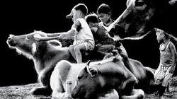 Tuổi thơ tôi... cắt cỏ, chăn trâu