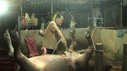 """Cận cảnh """"công nghệ"""" bơm nước vào gia súc để tăng trọng lượng"""