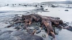 Phát hiện rừng sồi 5.000 tuổi