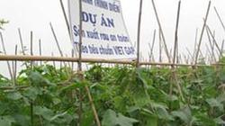 Nam Định: Liên kết trồng dưa chuột bao tử