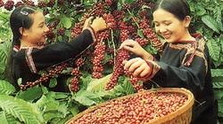 Giá cà phê tăng cao