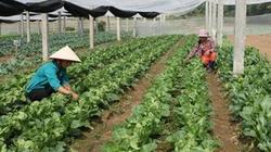 Đầu tư vùng rau sạch tiêu chuẩn VietGAP