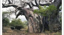 """Điểm mặt những loài cây có thuật """"trường sinh bất tử"""""""