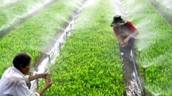 Keo giống cho vụ trồng rừng