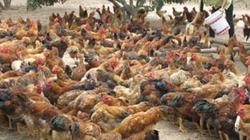 Hỗ trợ nông dân tiêu thụ gà sạch