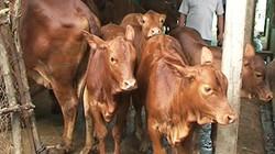 Bến Tre: Hỗ trợ nông dân nuôi bò sữa