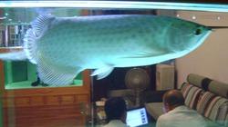 """Cá """"vua"""" nghìn đô và thú chơi của đại gia Hà thành"""