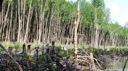 Cà Mau: Kỷ luật giám đốc Vườn quốc gia để mất rừng