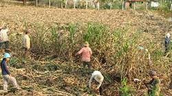Phú Yên: Hàng ngàn ha mía chết đứng