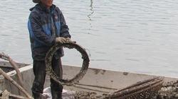 Nuôi hàu thân thiện với môi trường