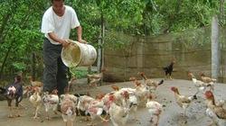Vật nuôi đặc sản  mất giá vì dịch cúm