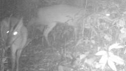Thanh Hóa: Phát hiện loài mang bị coi là đã tuyệt chủng