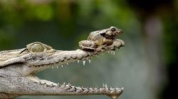 """Ếch """"xảo quyệt"""" tung chiêu độc khiến cá sấu bó tay"""