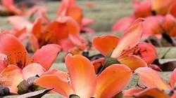 Chùm ảnh: Tháng Ba, miên man hoa gạo đỏ