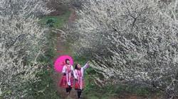 Mộc Châu, trắng rừng hoa mận nở