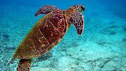 Thừa Thiên - Huế: Dân giao nộp rùa biển quý hiếm