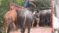 Quảng Trị: Nguy cơ dịch bệnh từ trâu bò nhập lậu