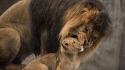 Xúc động giây phút sư tử bố hội ngộ đàn con
