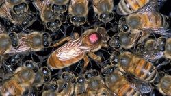 Sống sót thần kỳ sau khi bị 75.000 con ong đốt khắp người