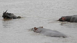 Thót tim cảnh hà mã cứu linh dương khỏi cá sấu