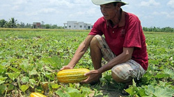 Dưa gang cần đất giàu dinh dưỡng