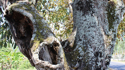 3 cây sộp già giữa lòng quốc lộ và chuyện mang bệnh khi chặt cây thiêng