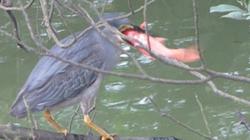 Du khách ngỡ ngàng xem cò săn mồi ngay ở Hồ Gươm