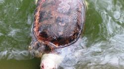 Bất ngờ chứng kiến Rùa Núi Vàng chết nổi ở Hồ Gươm