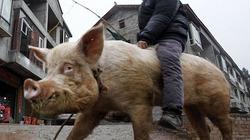 """Nông dân Trung Quốc dùng lợn """"khủng"""" làm... phương tiện đi lại"""