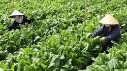 Bà Rịa - VũngTàu: Hướng dẫn nông dân sản xuất rau an toàn