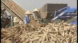 Khánh Hòa: Khoai mì tăng giá, nông dân phấn khởi