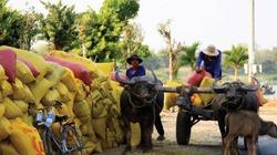 Thị trường lúa gạo: Thông tin ngắt khúc