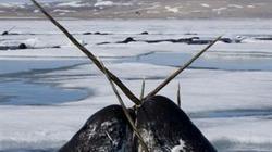 Giải mã bí ẩn chiếc ngà kỳ dị của kỳ lân biển