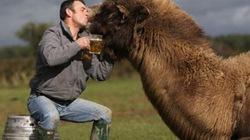 Chùm ảnh lạc đà uống bia như người