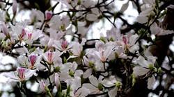 Tam Đường mùa hoa ban nở