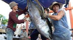 Tàu câu cá ngừ đại dương trúng lớn