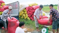 Bắt đầu triển khai thu mua tạm trữ lúa gạo theo chỉ đạo của Thủ tướng