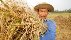 Đồng bằng SCL: Mỗi tỉnh chỉ trồng 4-5 giống lúa chủ lực
