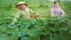 Hội nông dân Tam Đảo: Xây dựng thương hiệu su su sạch