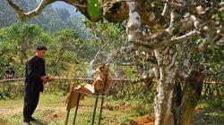 Khó giữ được cây chè cổ Suối Giàng
