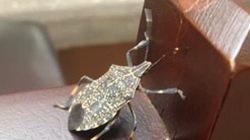 Giật mình thấy bọ xít hút máu no căng tái xuất ở Hà Nội