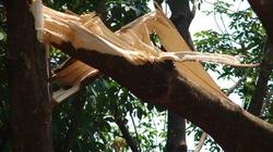Gia Lai: Lốc xoáy làm gãy, đổ 2.500 cây cao su
