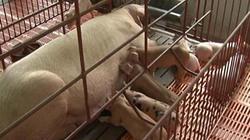 Chăn nuôi theo quy trình VietGAP nông hộ để kiểm soát dịch bệnh
